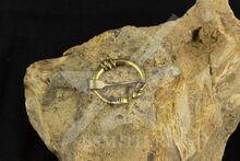 Фибула, Готланд, 9-10 век, 23 мм